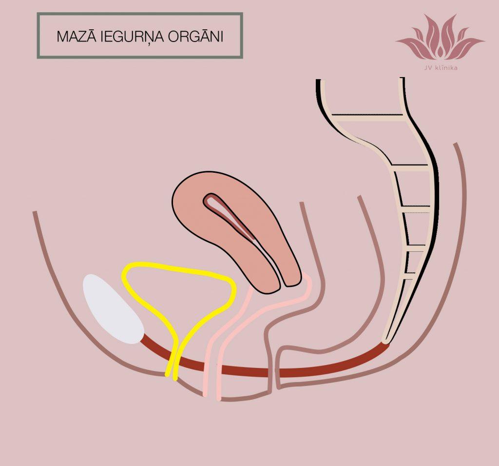 Mazā iegurņa orgāni