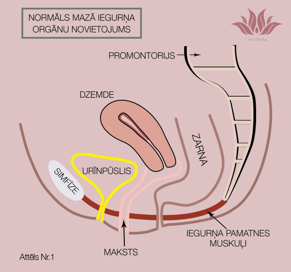 Mazā iegurņa orgānu normāls novietojums