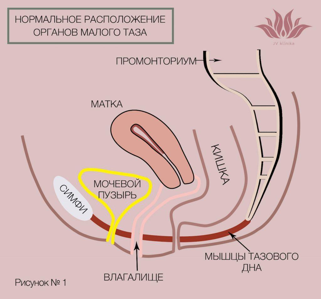 Нормальное расположение органов малого таза